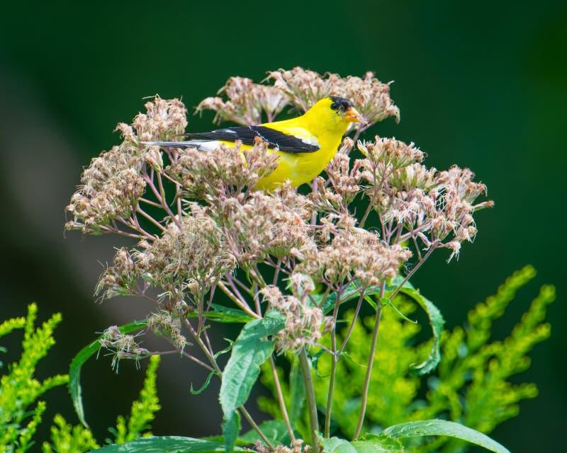 Esconder empoleirado/de descanso do pintassilgo no wildflower na reserva natural nacional do vale de Minnesota - na extremidade d imagens de stock royalty free