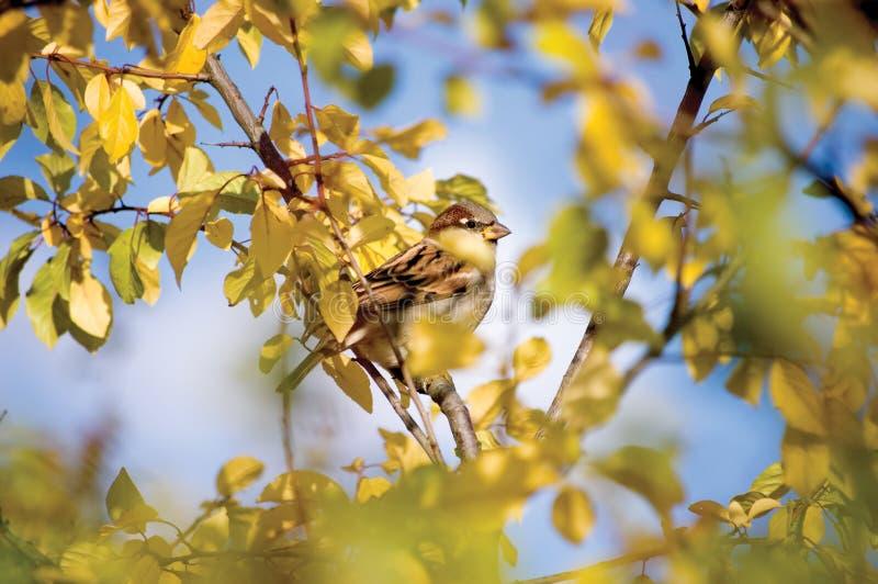 Esconderijo do outono do pássaro do pardal fotos de stock