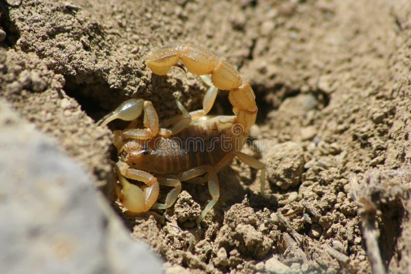Escorpião fotografia de stock