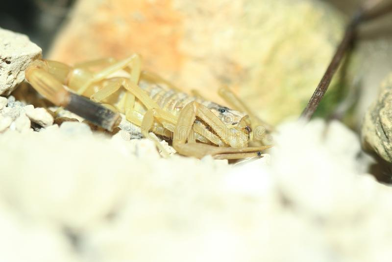 Escorpião amarelo israelita foto de stock