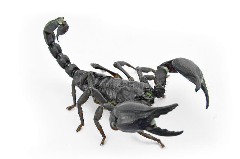 Escorpião Chang imagens de stock