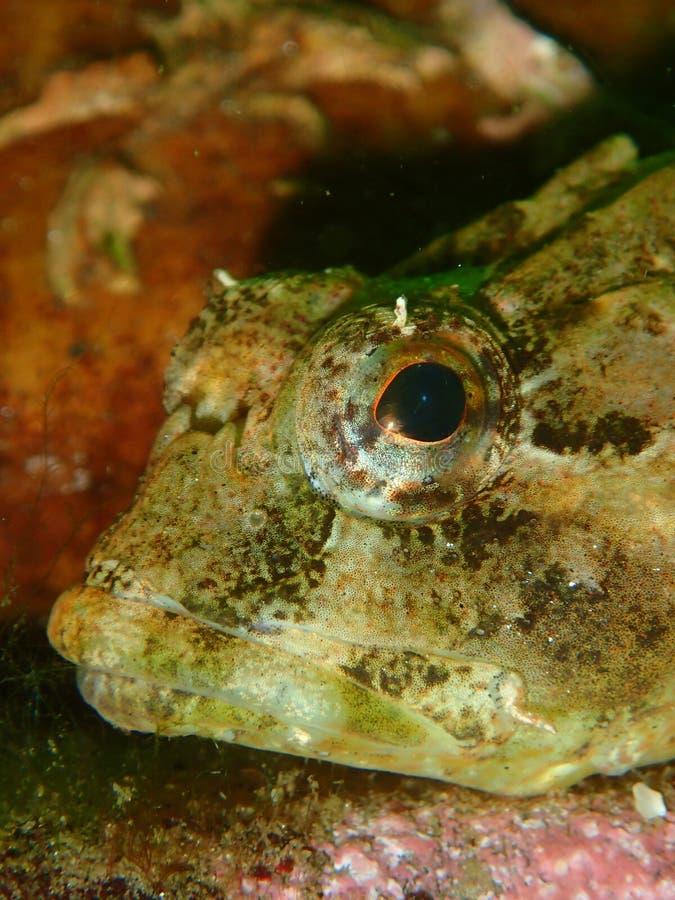 Escorpião de mar curto-spined Mergulhador, St Catherine imagens de stock royalty free