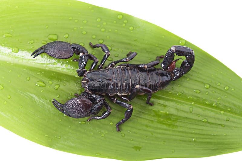 Download Escorpião Em Uma Folha Verde Imagem de Stock - Imagem de cauda, folha: 29839571