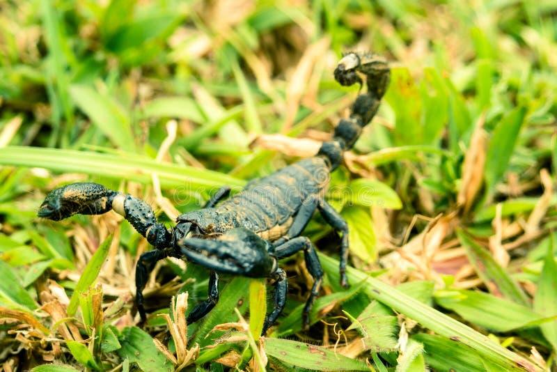 Escorpión agresivo imagenes de archivo