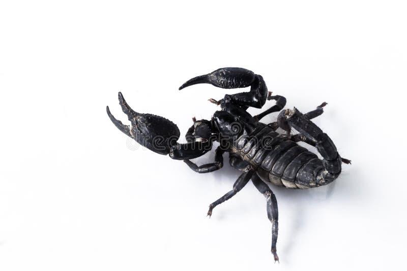 Escorpión aislado en blanco foto de archivo libre de regalías