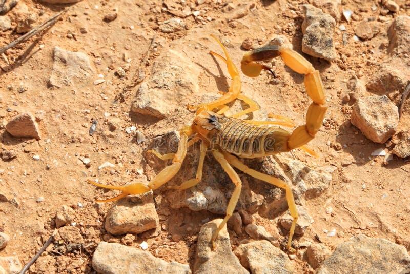 Escorpión amarillo foto de archivo