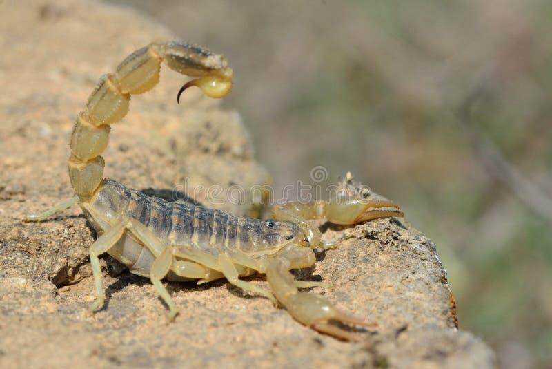 Escorpión amarillo común (occitanus de Buthus) en postura defensiva en Azerbaijan fotos de archivo libres de regalías