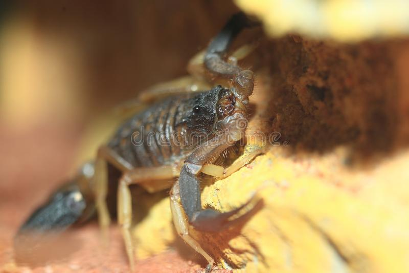 Escorpión de cola negra iraní de la parte posterior del cocodrilo fotografía de archivo
