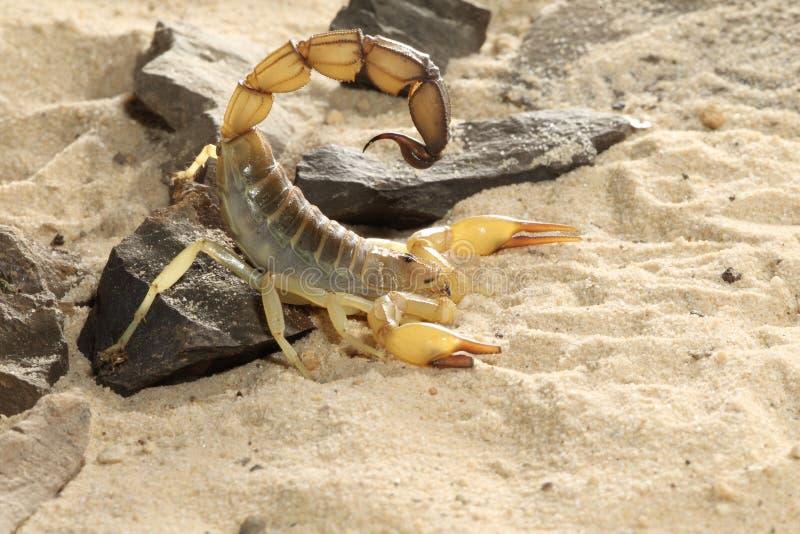 Escorpión del acosador de la muerte - quinquestriatus de Lieurus imagenes de archivo