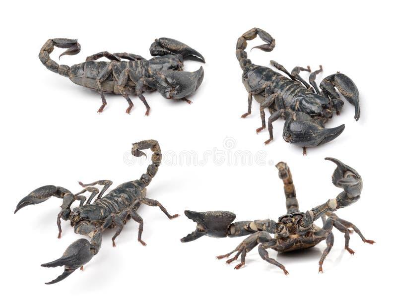 Escorpión en el fondo blanco fotos de archivo