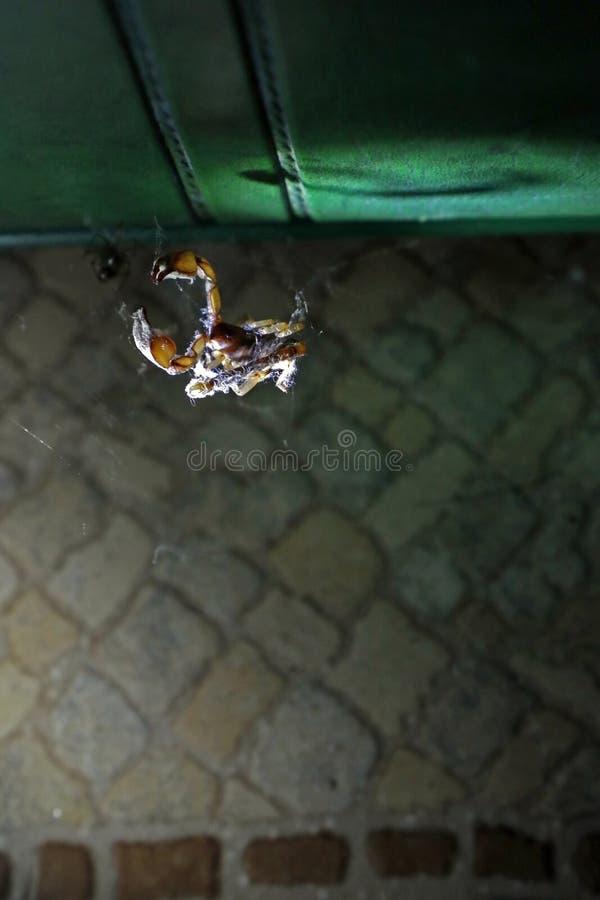 Escorpión en un web del ` s de la araña fotografía de archivo libre de regalías