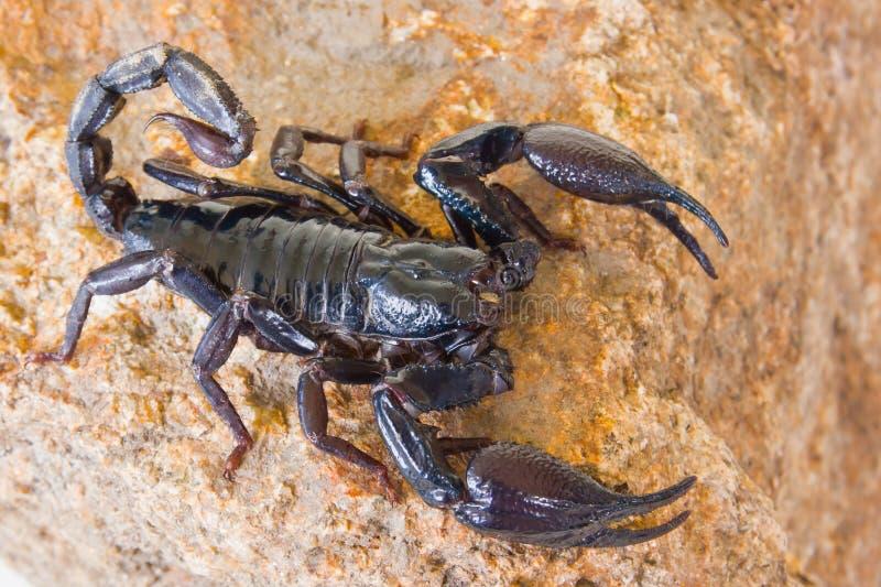 Escorpión negro foto de archivo