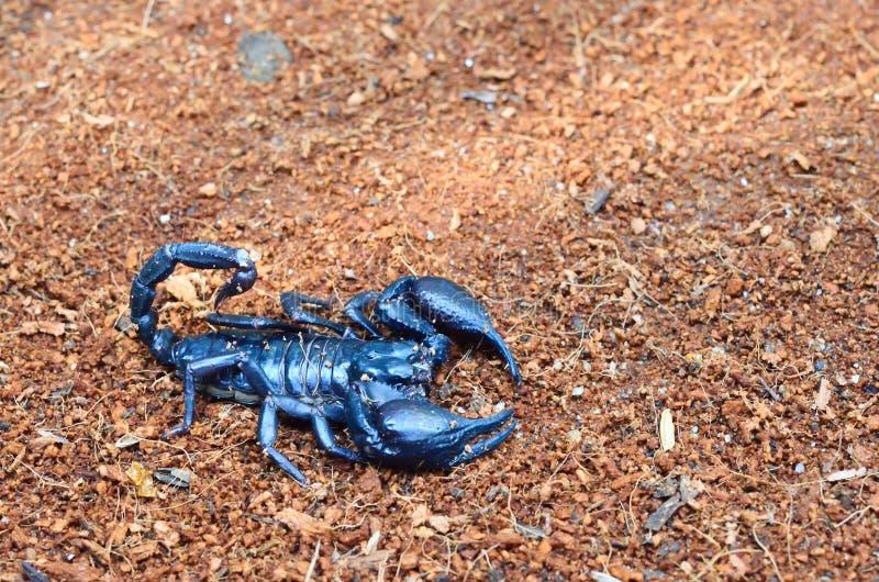 Escorpión negro en la tierra foto de archivo libre de regalías