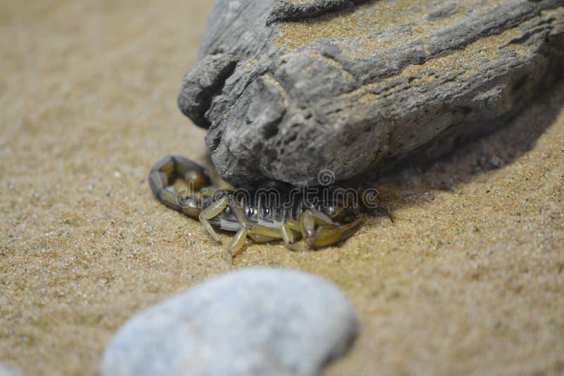Escorpión que oculta debajo de una roca fotos de archivo