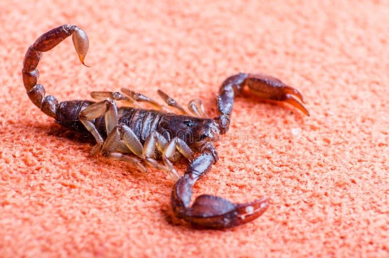 Escorpión que se arrastra en la tela, cierre para arriba imágenes de archivo libres de regalías