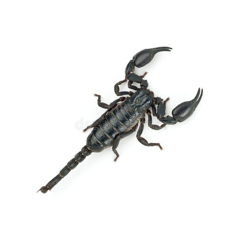 Escorpión trasero foto de archivo