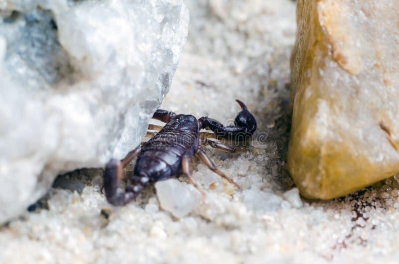 Escorpi?n que oculta debajo de una piedra, cierre para arriba imagen de archivo