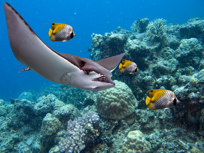 Escort. Spotted Eagle-rays (Aetobatus narinari) and Lined Butterflyfish (Chaetodon lineolatus Cuvier) swimming over tropical reef stock images