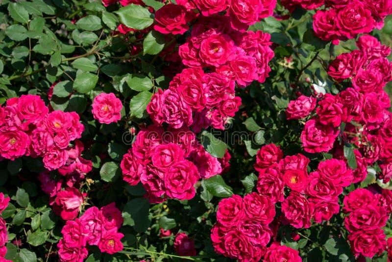 A escova grande das rosas, com lotes de rosas scented imagens de stock royalty free