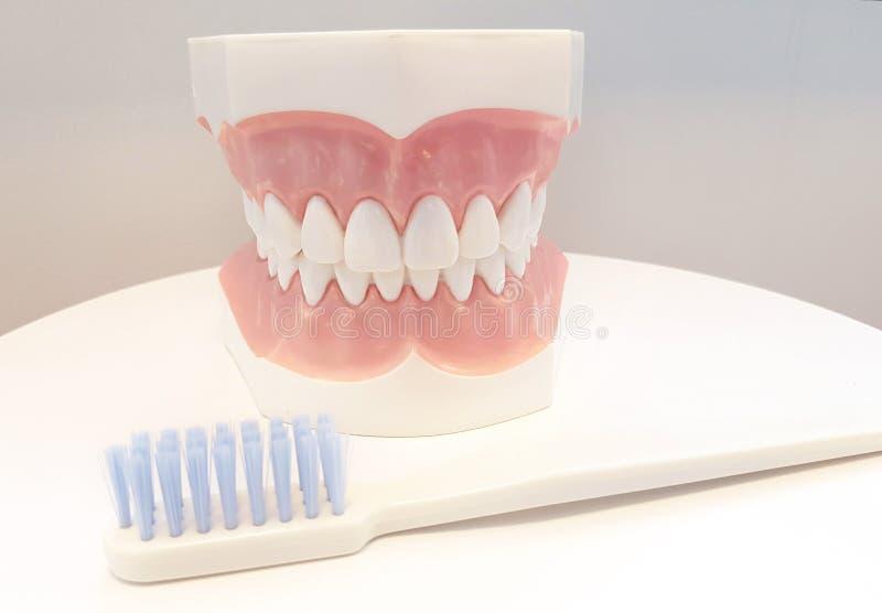 Escritório do dentista Ferramenta ortodôntica do modelo e do dentista fotos de stock royalty free