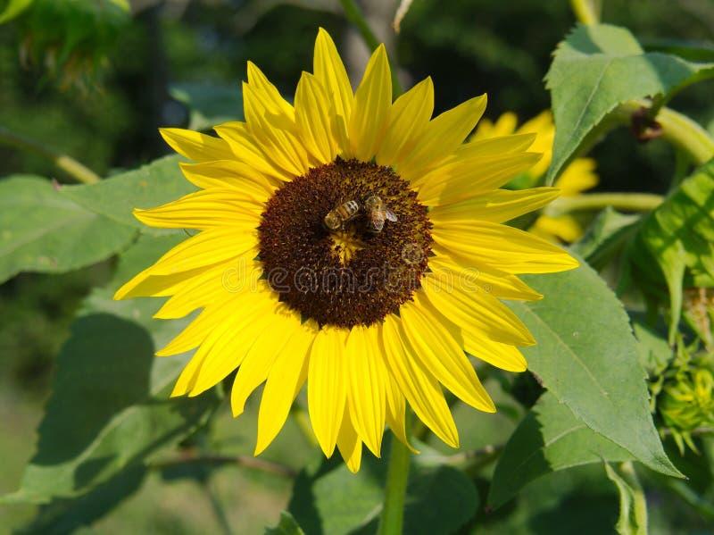 Escroquerie api de Girasole photographie stock libre de droits