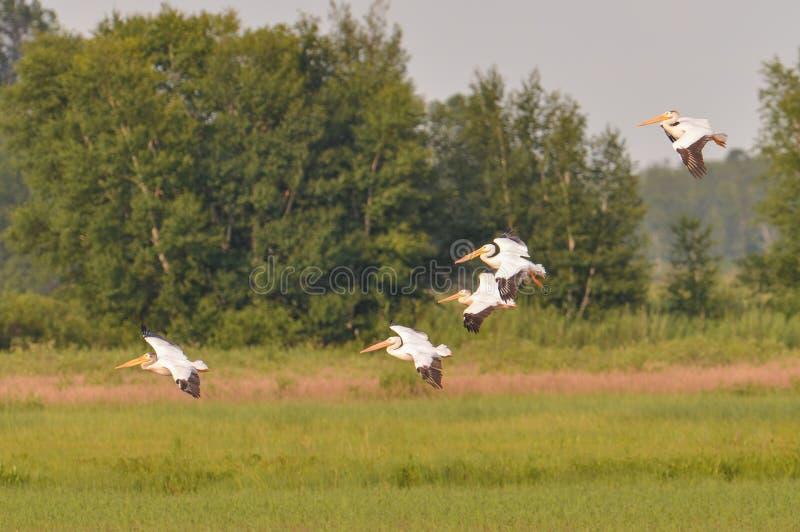 Escuadrilla de los pelícanos blancos americanos que vuelan durante el verano en el área de la fauna de los prados del Crex - prin imagen de archivo