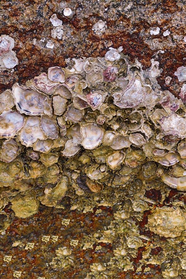 Escudo de ostra no fundo selvagem da vida marinha da flora do projeto marinho de superfície aberto de pedra do nácar do resíduo m fotografia de stock royalty free
