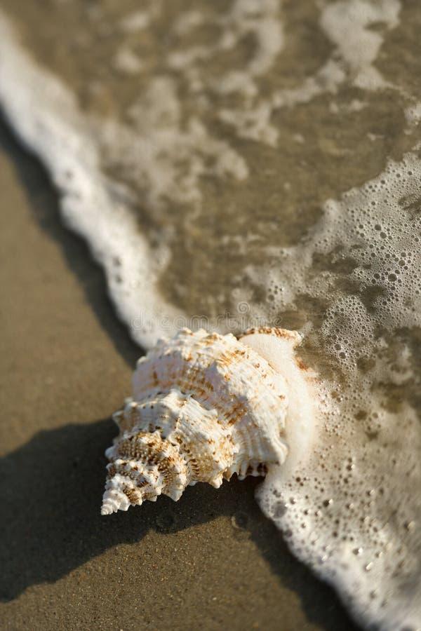 Escudo do Conch na onda. foto de stock royalty free