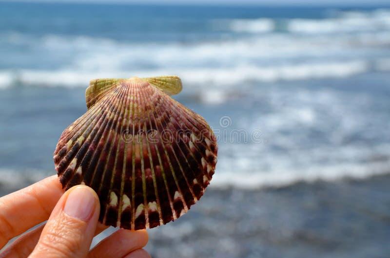 Escudo do mar da terra arrendada da mão em um fundo borrado das ondas de oceano Concha do mar nos dedos das mulheres contra a águ imagens de stock