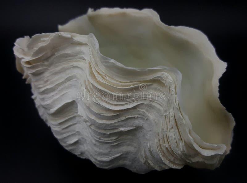 Escudo dos moluscos gigantes imagem de stock