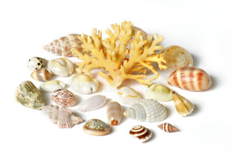 Escudo e coral do mar isolados no branco foto de stock
