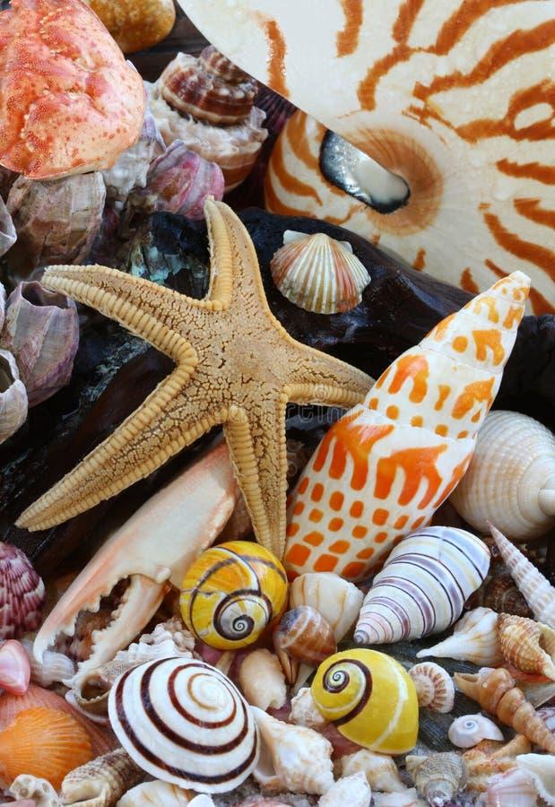 Escudos do mar, estrela de mar na praia imagem de stock