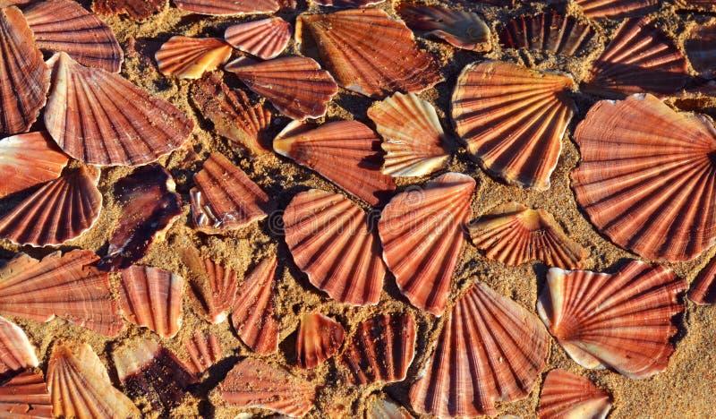 Escudos do mar no fundo da areia imagens de stock