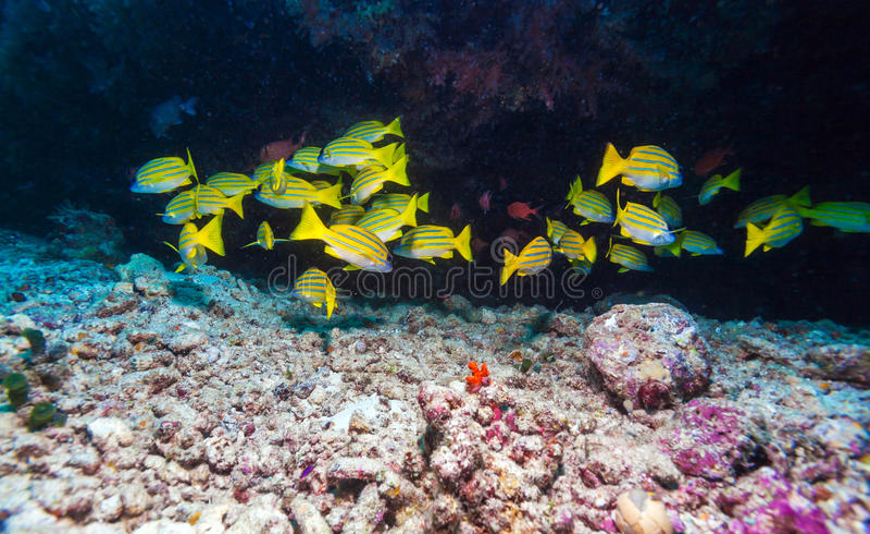 Escuela de los pescados amarillos, Maldivas foto de archivo