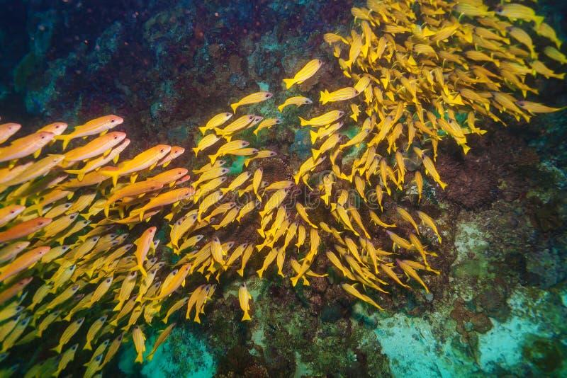 Escuela de los pescados amarillos, Maldivas imagen de archivo