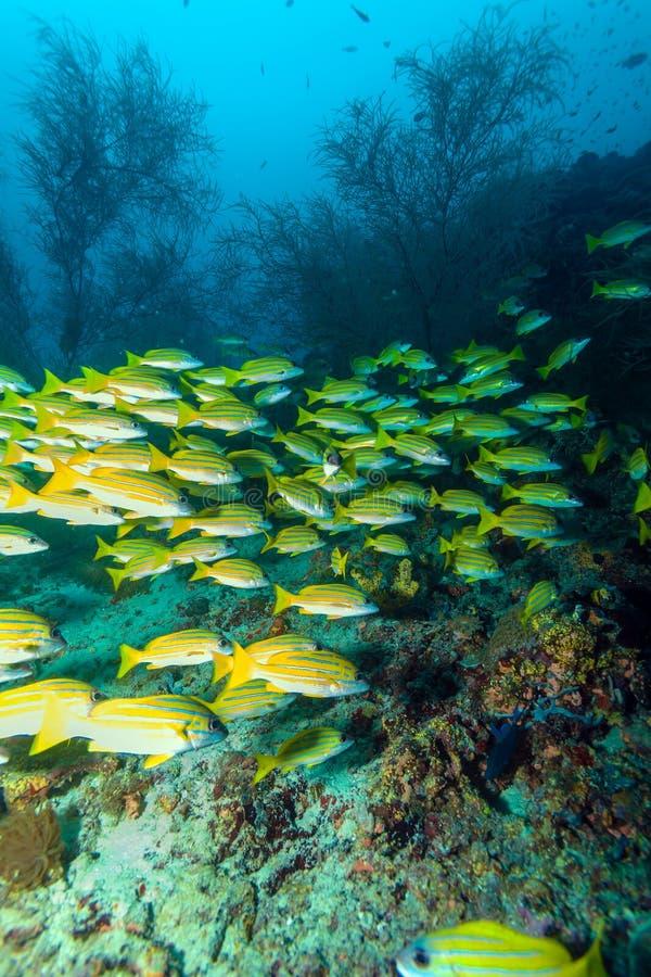 Escuela de los pescados amarillos, Maldivas fotos de archivo libres de regalías