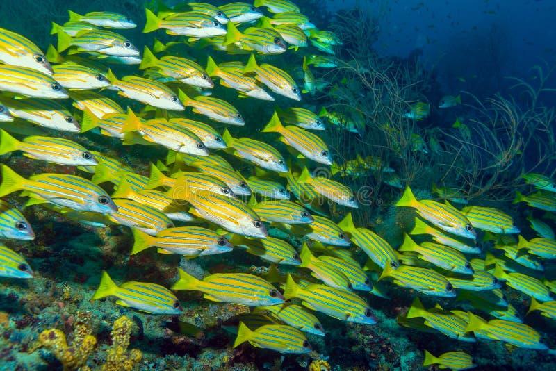 Escuela de los pescados amarillos, Maldivas fotografía de archivo