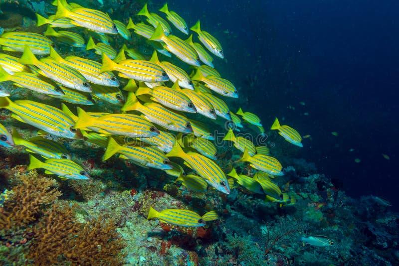 Escuela de los pescados amarillos, Maldivas imagenes de archivo