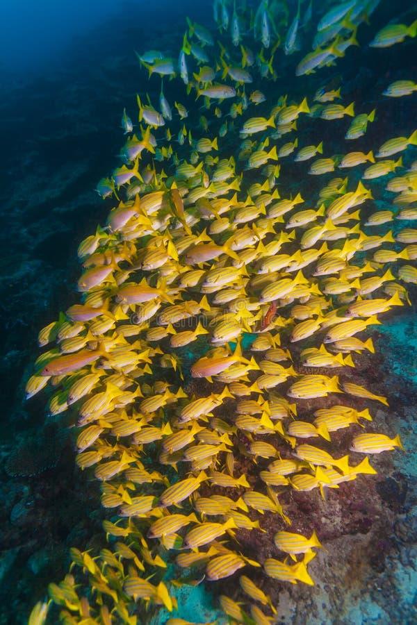 Escuela de los pescados amarillos, Maldivas fotos de archivo