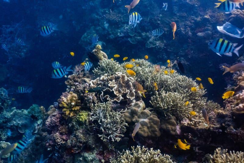Escuela de los pescados coralinos en un arrecife de coral bajo foto de archivo libre de regalías