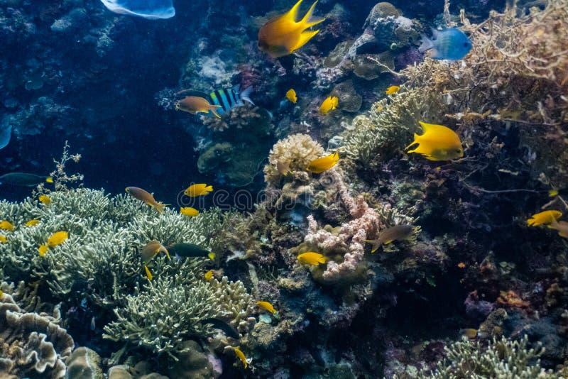 Escuela de los pescados coralinos en un arrecife de coral bajo imagen de archivo