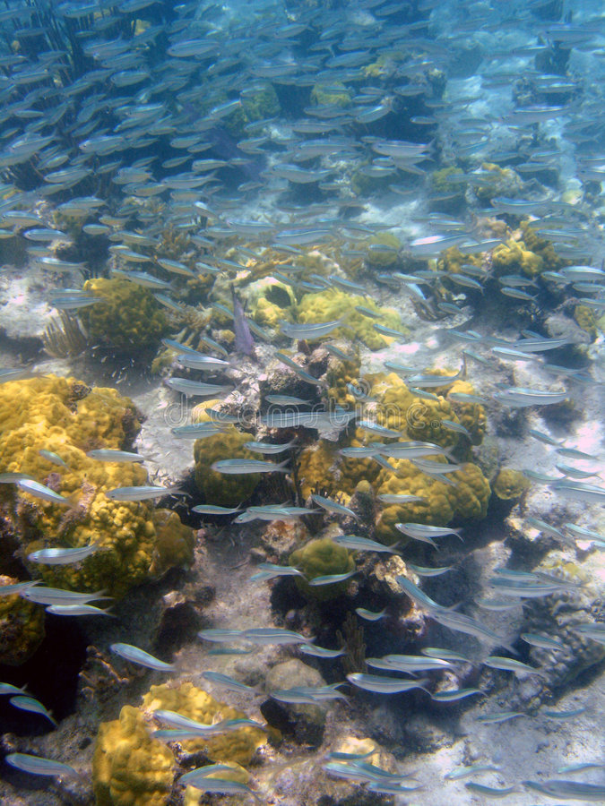 Escuela de los pescados de plata, Puerto Rico, del Caribe imágenes de archivo libres de regalías
