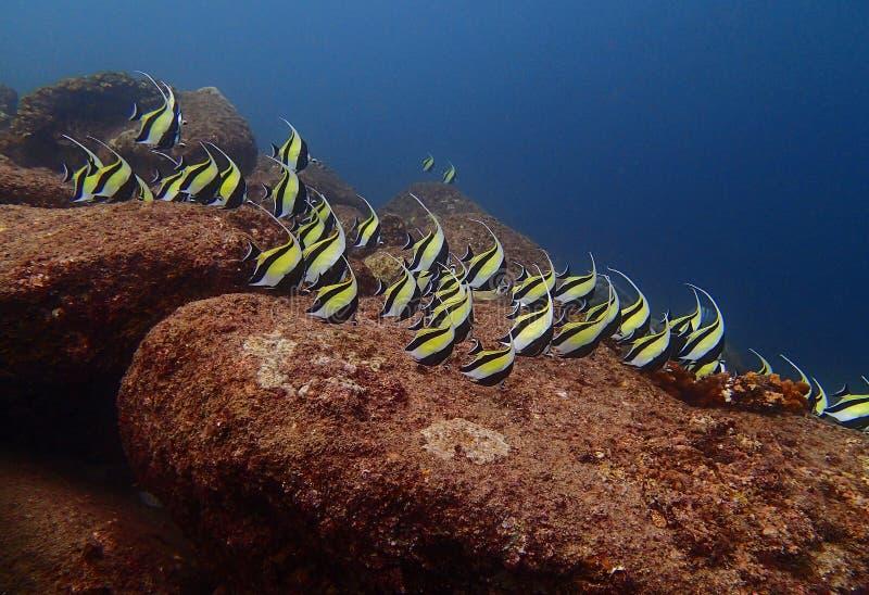 Escuela de los pescados moros Zanclus Cornutus del filón del ídolo en un filón adentro fotografía de archivo libre de regalías