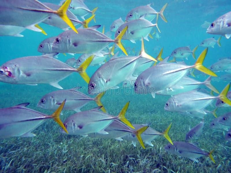 Escuela de los pescados de plata y amarillos en las islas de la bahía de Belice fotos de archivo libres de regalías