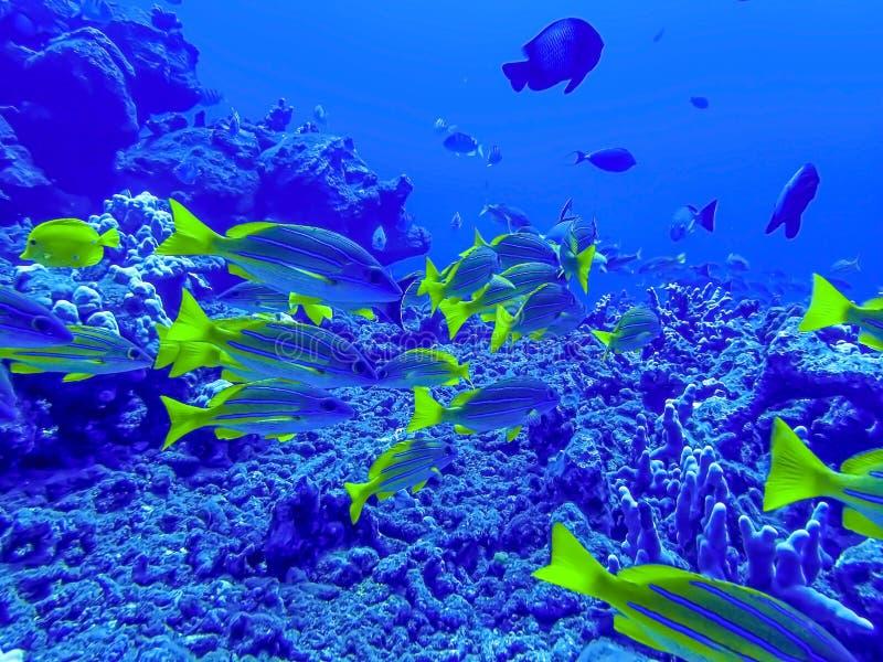 Escuela de los pescados tropicales del amarillo rayado azul de los mordedores subacuáticos imagenes de archivo