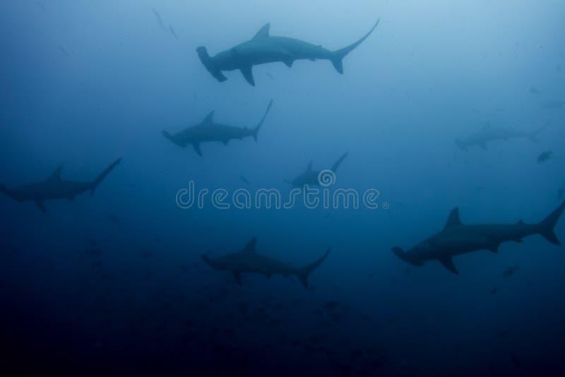 Escuela de los tiburones de hammerhead foto de archivo libre de regalías
