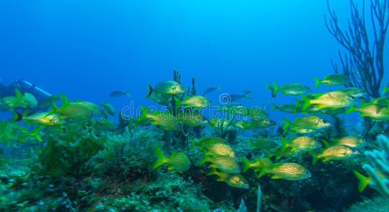 Escuela de pescados amarillos fotografía de archivo