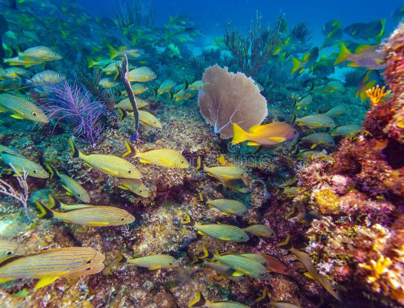 Escuela de pescados amarillos foto de archivo