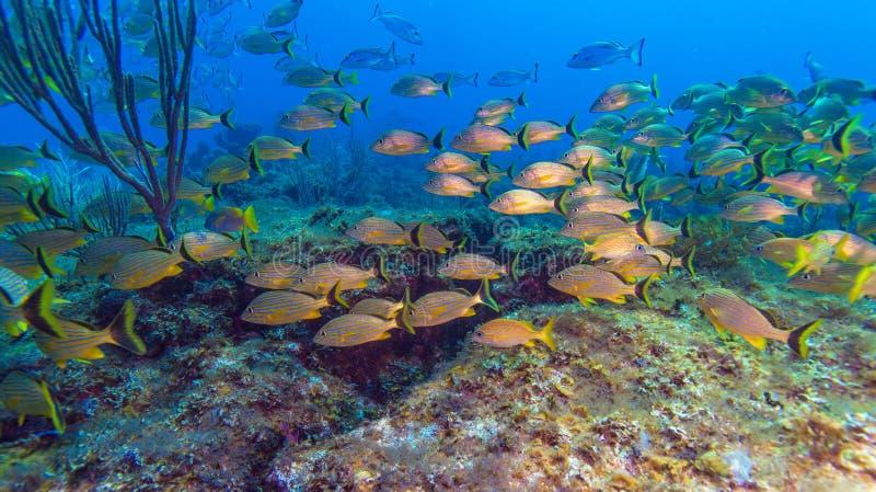 Escuela de pescados amarillos foto de archivo libre de regalías