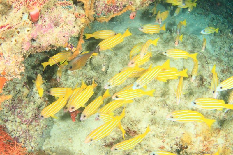 Escuela de pescados amarillos en cueva en el arrecife de coral imagenes de archivo